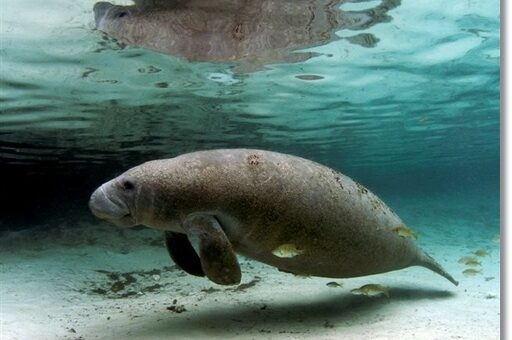 Manatees in DR