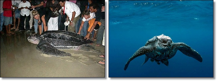 Leatherback turtle laying eggs in Cabarete DR