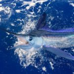 White marlin fishing off the coast of Sosua