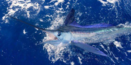 White marlin fishing off the coast of Sosua